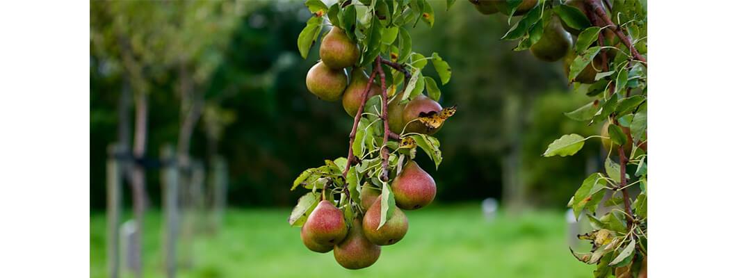 Armut Ağaçlarında Solucan Gübresi Kullanımı | Rivasol