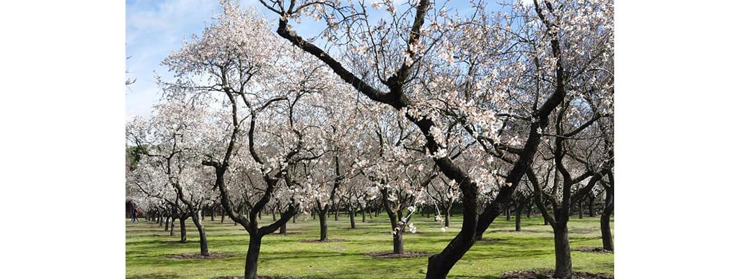 Badem Ağaçlarında Solucan Gübresi Kullanımı | Rivasol