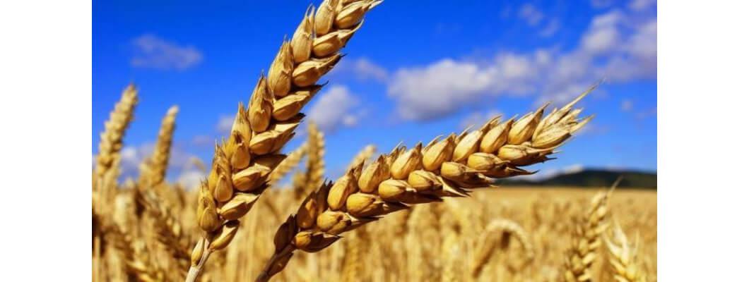 Buğdayda Solucan Gübresi Kullanımı