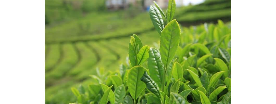 Çayda Solucan Gübresi Kullanımı | Rivasol