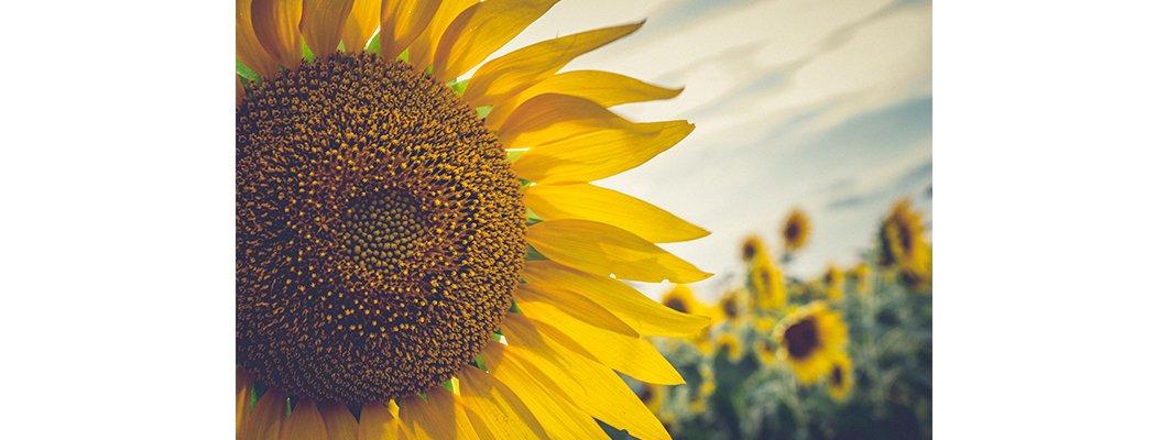 Doğal Solucan Gübresi Ayçiçeğinde Gübreleme | Rivasol