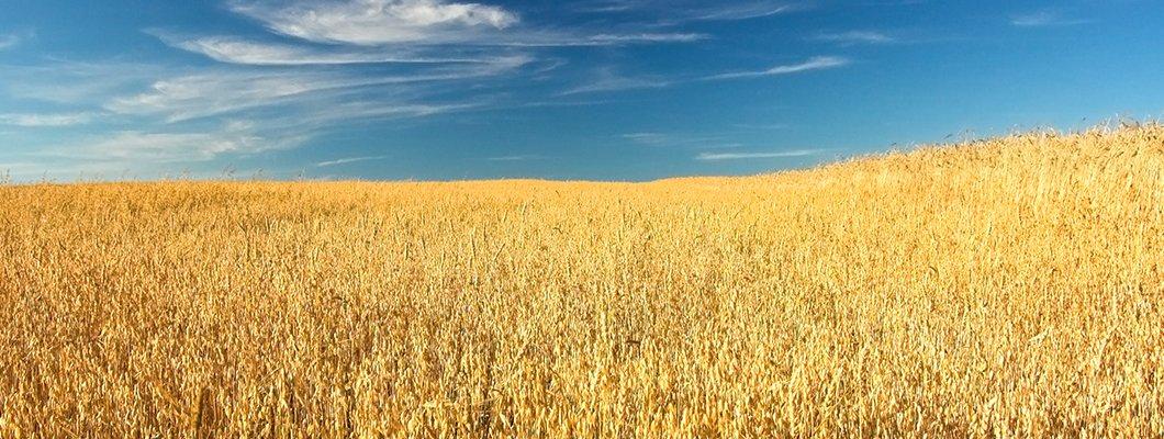Doğal Solucan Gübresi Buğday Yetiştirme Tekniği
