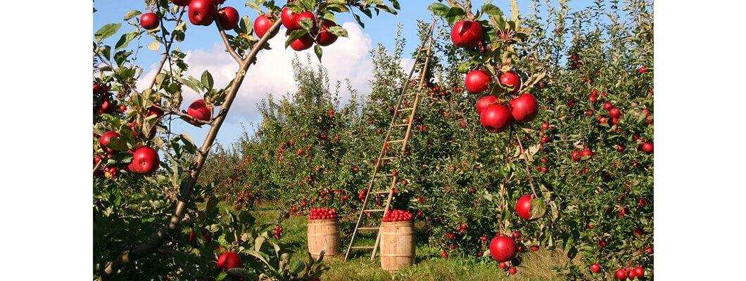 Elma Ağaçlarında Solucan Gübresi Kullanımı | Rivasol