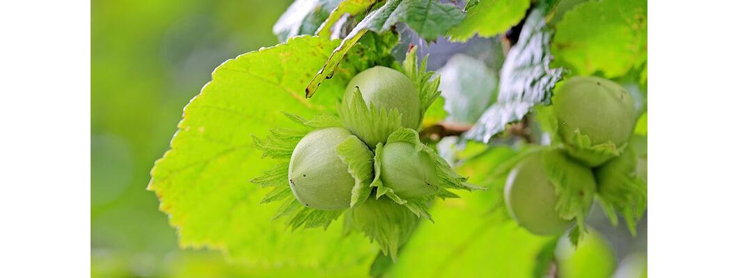 Fındık Ağaçlarında Solucan Gübresi Kullanımı | Rivasol