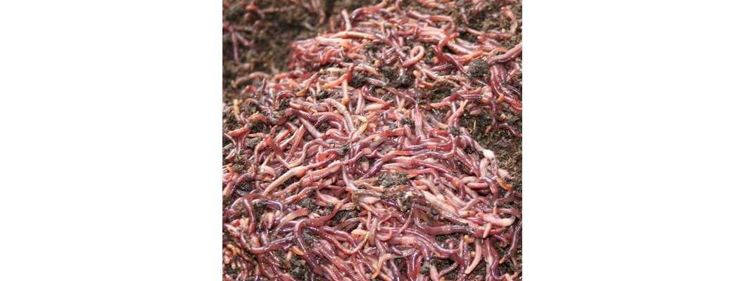 Kırmızı Kaliforniya Solucanlarını Tanıma Rehberi  ( Eisenia foetida ) | Rivasol