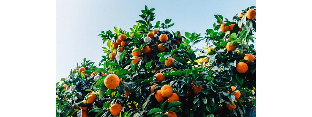 Mandalina Ağaçlarında Solucan Gübresi Kullanımı