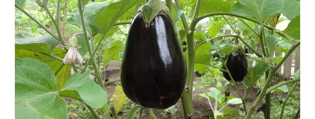 Patlıcanda Solucan Gübresi Kullanımı