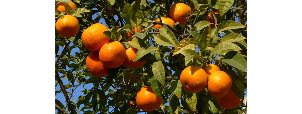 Portakal Ağaçlarında Solucan Gübresi Kullanımı | Rivasol