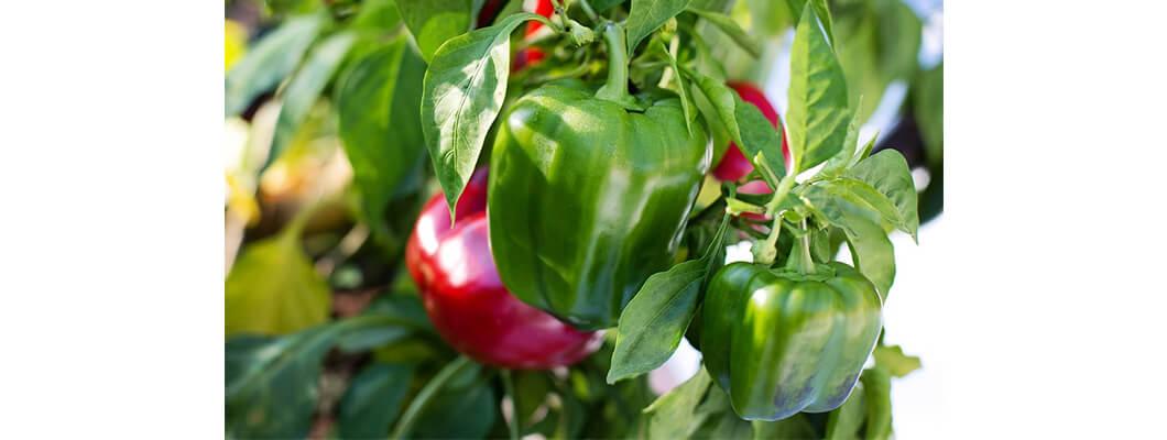 Yeşil Biberde Solucan Gübresi Kullanımı | Rivasol
