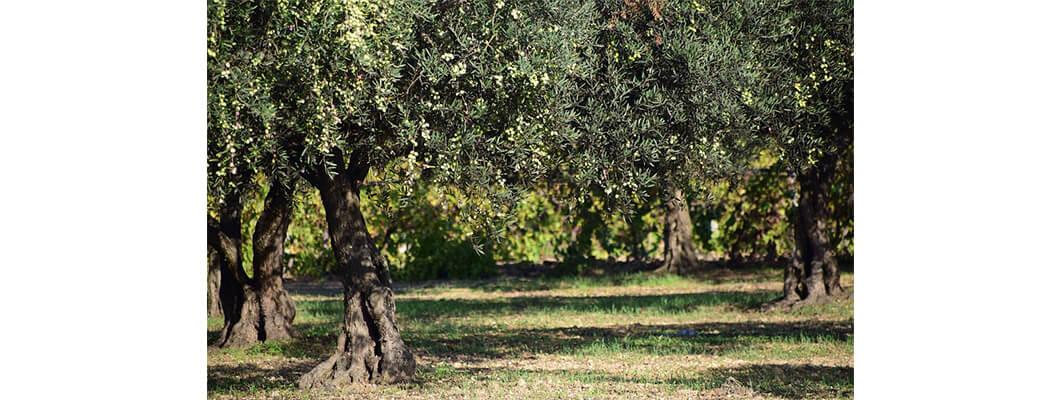 Zeytin Ağaçlarında Solucan Gübresi Kullanımı | Rivasol