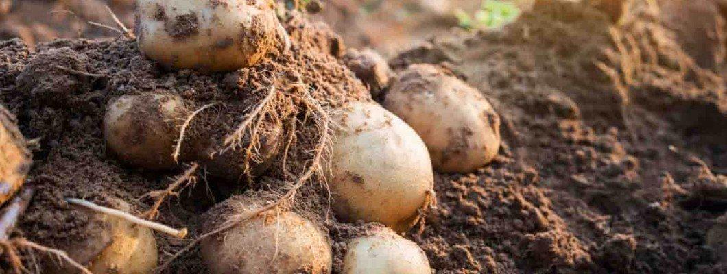Patateste Solucan Gübresi Kullanımı | Rivasol