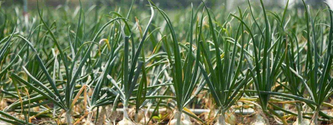 Soğanda Solucan Gübresi Kullanımı | Rivasol