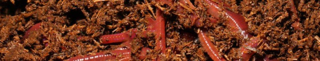 Kırmızı Kaliforniya Solucanı / Eisenia Foetida