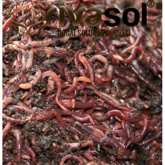 300.000 Adet Kırmızı Kaliforniya Solucanı (Eisenia foetida) Kırmızı Kaliforniya Solucanı (Eisenia Foetida)