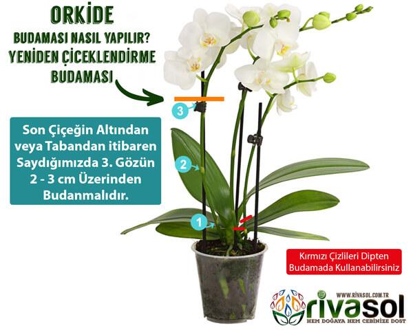 Orkide Budaması Nasıl Yapılır