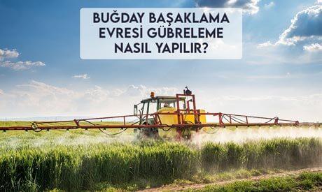 Buğday Başaklanma Evresi Gübreleme Nasıl Yapılır?