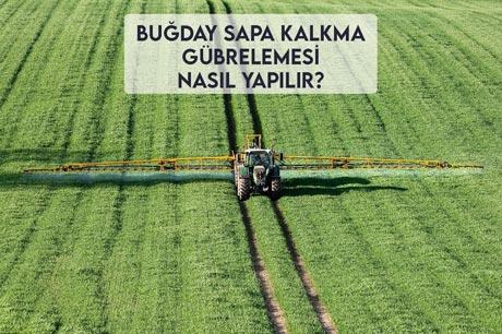 Buğday Sapa Kalkma Gübrelemesi Nasıl Yapılır?