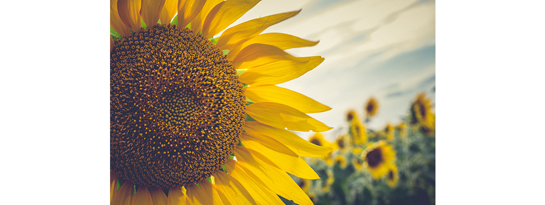 Doğal Solucan Gübresi Ayçiçeğinde Gübreleme Nasıl Yapılır?