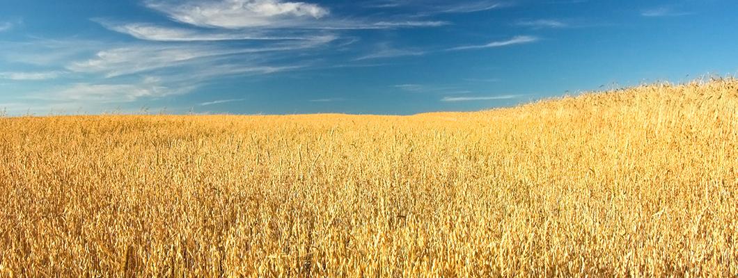 Rivasol® Organik Solucan Gübresi ile Buğday Yetiştirme Tekniği