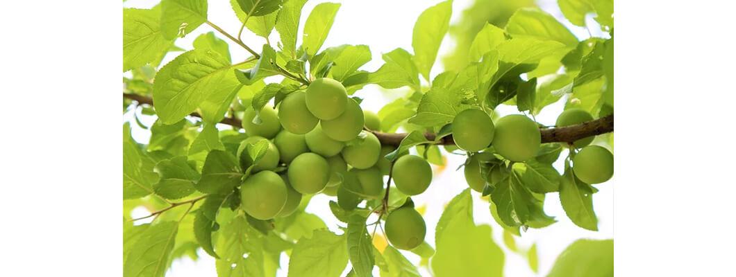 Erik Ağaçlarında Solucan Gübresi Nasıl Kullanılır ve Etkisi Nedir?