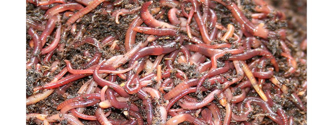 Kırımızı Kaliforniya Solucanları Neden Yemek Yemiyorlar ?
