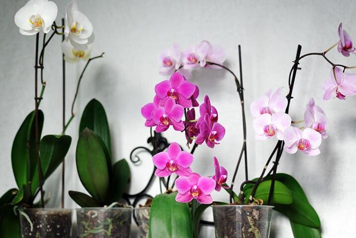 Orkide Nasıl Seçilir