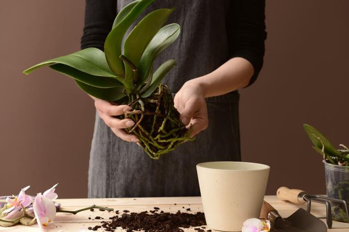 Orkide Saksısı Nasıl Değiştirilir