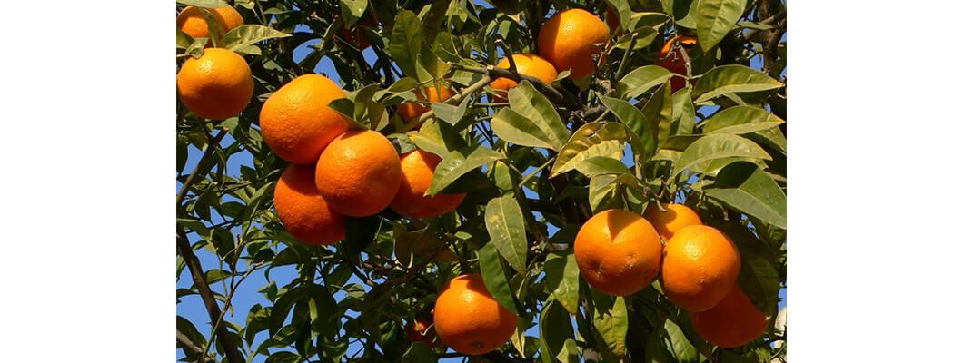 Portakal Ağaçlarında Solucan Gübresi Nasıl Kullanılır ve Etkisi Nedir?